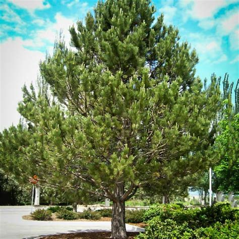 austrian black pine  tree center