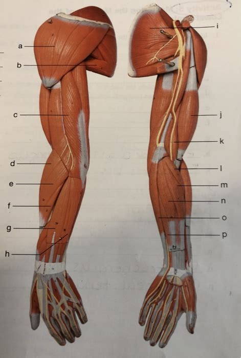 How skeletal muscles are named? Name Muscles In Arm - The Arm Workouts You Need To Build ...