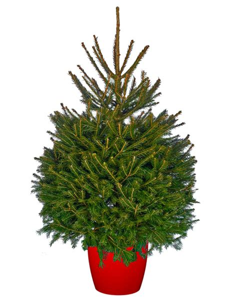 norway spruce pot grown christmas trees delivered