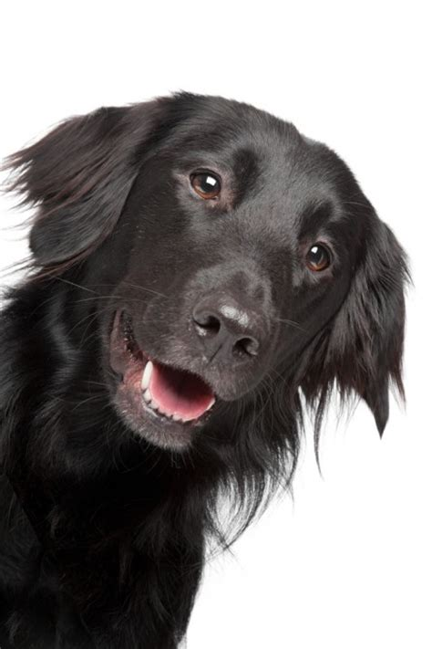 Flat Coated Retriever Molting by Smartest Dogs List 2013 Breeds Picture