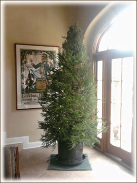 rent  christmas tree san francisco san jose santa cruz
