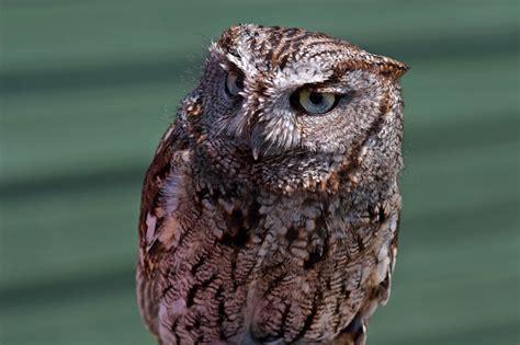 western screech owl 2 jpg 1920 215 1278 western screech