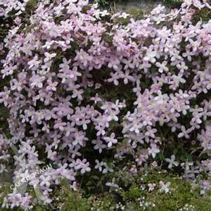 Clematis 'Montana Elizabeth' - Carndonagh Nursery & Garden