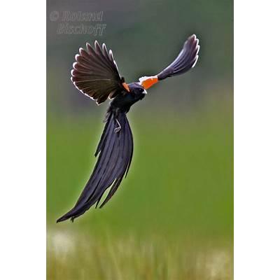 Long-tailed Widowbird display flightLong-tailed widow