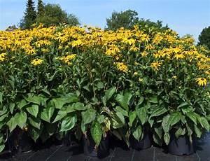 Sonnenhut Pflanze Kaufen : sonnenhut goldsturm rudbeckia fulgida sullivantii goldsturm g nstig online kaufen ~ Buech-reservation.com Haus und Dekorationen
