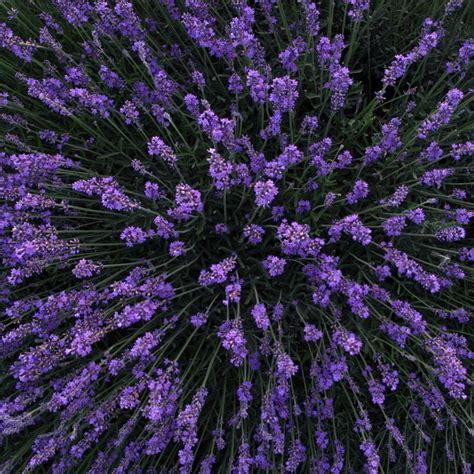 planting lavender seeds 100pc lavender seeds organic lavender seeds plant flower seed home garden pop ebay