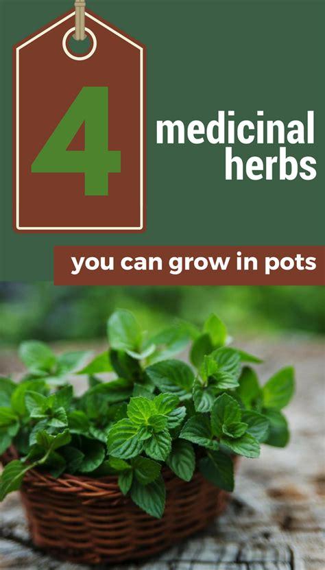 4 Medicinal Herbs You Can Grow In Pots 101gardentipscom