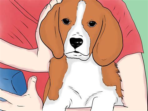 un si鑒e come prendersi cura di un cucciolo di beagle wikihow