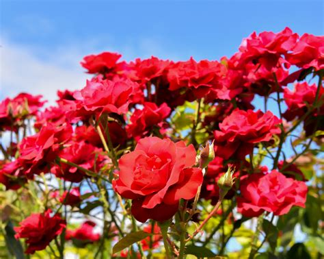 growing roses for beginners growing roses in calgary landscaping tips for the beginner