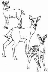 Deer Coloring Tailed Printable sketch template