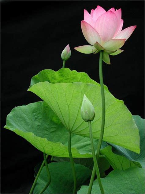 The Beautiful Lotus Plant (Nelumbo nucifera): Traditional ...