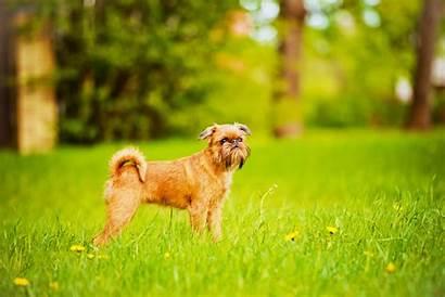 Dog Breeds Energy Low Brussels Griffon Friendly