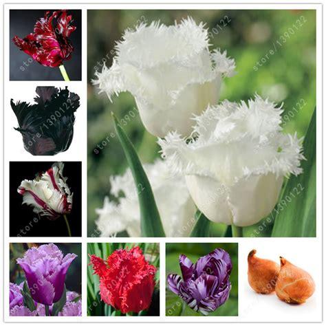 tulip bulbs item 1029 kolpakowskiana 2 bulbs true tulip bulbs tulip flower not tulip seeds flower bulbs outdoor plant natural