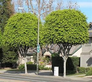 Ficus Benjamini Vermehren : ufei selectree a tree selection guide ~ Lizthompson.info Haus und Dekorationen