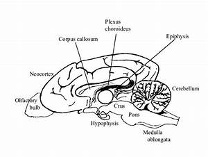 2  Schematic Structure Of A Dog Brain  Median View