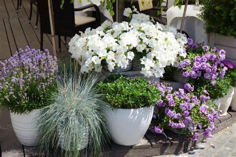 lavande en pot lavande en pot et au jardin planter cultiver tailler promesse de fleurs