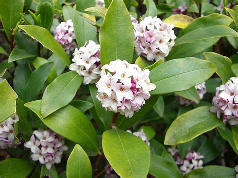 Shrubs With Fragrant Blooms For The South  South Carolina
