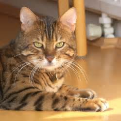 bengal cat pictures bengal redorbit
