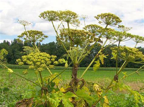 riesen baerenklau die killerpflanze des sommers oeorfat