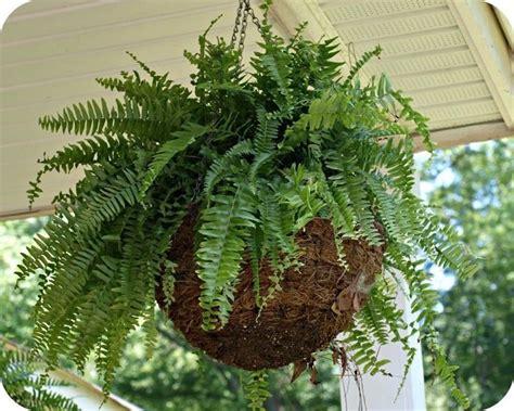 felce da vaso felce pianta piante appartamento caratteristiche della