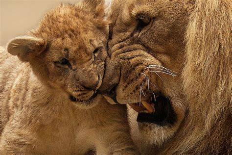 Free Photo Lion, Animal, Predator, Big Cat  Free Image