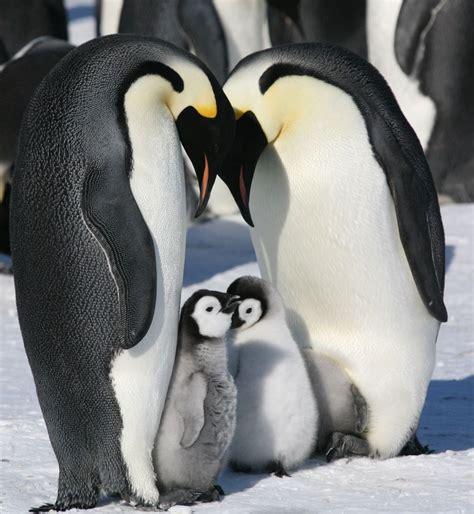 emperor penguin breeding cycle australian antarctic division
