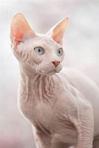 People are shaving cats and selling them as fake sphynx ...