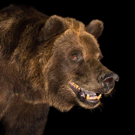 grizzly bear national geographic