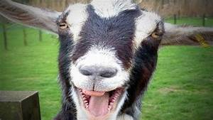 Funny Goats  Ud83d Udc10 Funny And Cute Goats  Full   Funny Pets