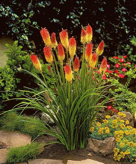 Blumen Für Balkon Winterhart by Fackellilie Grandiflora Produktbild Blumen