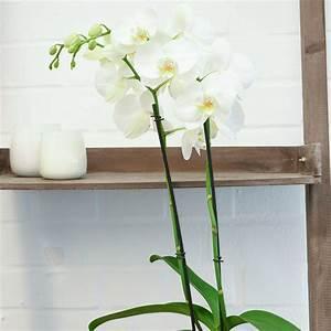 Zimmerpflanze Weiße Blüten : wei e schmetterlings orchidee online kaufen bei g rtner p tschke ~ Markanthonyermac.com Haus und Dekorationen