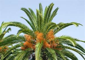 Phoenix Canariensis Pflege : dr giuseppe mazza journalist scientific photographer ~ Lizthompson.info Haus und Dekorationen