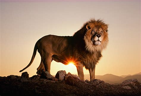 lion standing profile