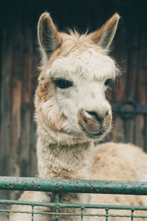 Beautiful Llama Photos · Pexels · Free Stock Photos