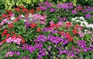 Verveine Plante Tisane : verveine hybride planter et cultiver ooreka ~ Mglfilm.com Idées de Décoration