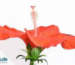 Hibiskus Wann Zurückschneiden : pflanzen ~ Lizthompson.info Haus und Dekorationen