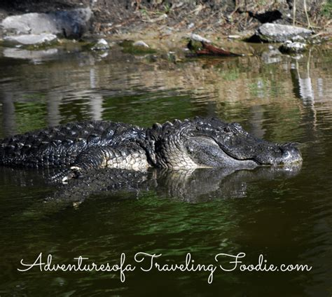 Kitchen Gadgets Naples Fl by Alligators At Naples Zoo Florida Adventures Of A