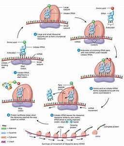 الباحثون السوريون - ترجمة الشيفرات الوراثية واصطناع البروتينات