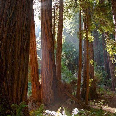 California Giant Redwood Trees Muir Woods