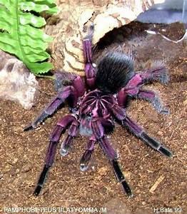 Pamphobeteus platyomma (Brazilian pinkbloom tarantula ...