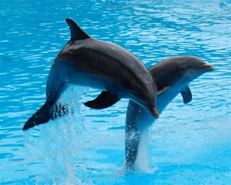 twin dolphin wallpaper  desktop images