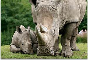 Rhino Birth And Care Of The Young