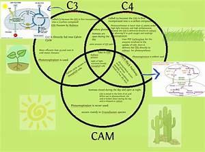 C3  C4  And Cam Plants