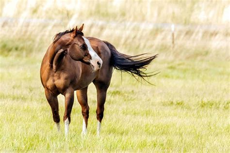 quarter horse american foundation research horses proposals seeking knowledge health equine pasture