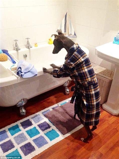 rupert  dog poses   ironing  hilarious