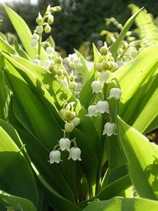 Lily Of The Valley Control