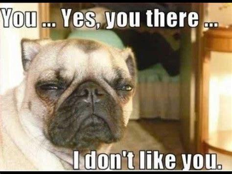 Bulldog Memes - funny innocent bulldog memes animals pinterest funny bulldog and animal