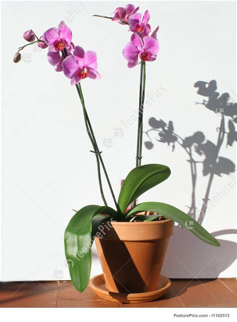 picture  orchid home plant