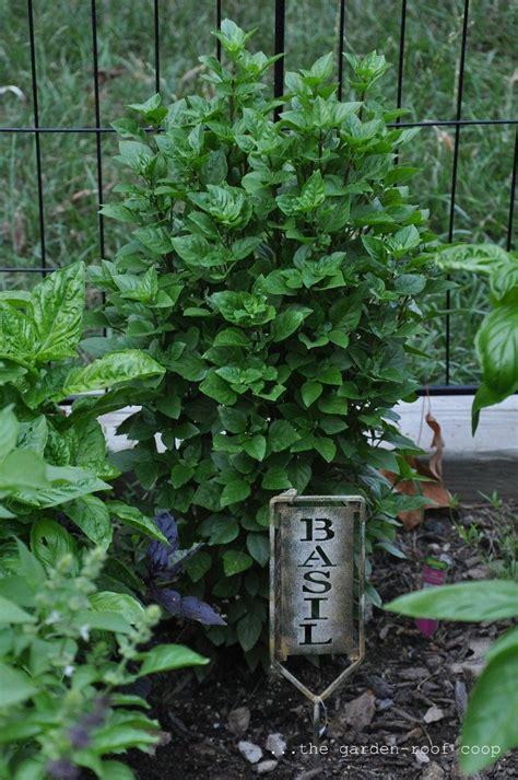 Kitchen Garden Varieties by Basil Varieties Kitchen Gardens Herbs