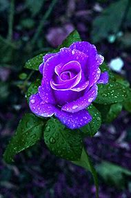 Blue and Purple Rose Flowers